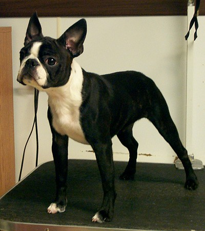 Boston Terriers Ears Wont Stand