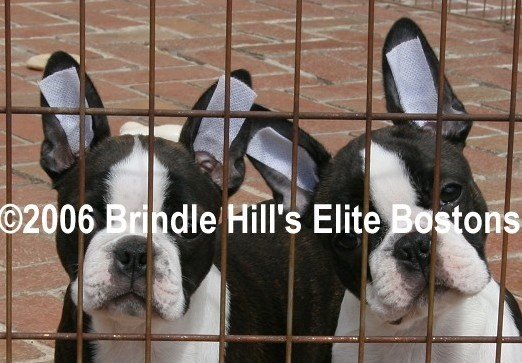 Boston Terrier S Ears Won T Stand
