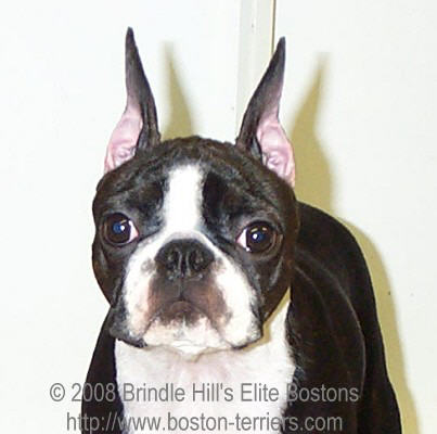 Boston Terrier's Ears Won't Stand?