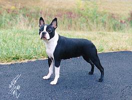 Brindle Hills Happy Boston Terrier Owners