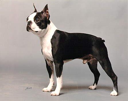 "Boston Terrier ""Rudy"" of El-Bo Bostons"